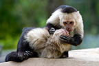 Two White-throated Capuchin grooming (White-throated Capuchin)