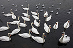 Group of Mute Swans on water Ireland (Mute Swan)