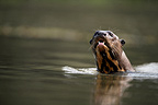 Giant-river otter in water Brazil (Giant otter )