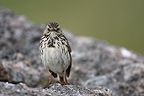 Meadow Pipit on a rock Norway (Meadow Pipit)
