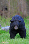 Black Bear male in grass Minnesota USA (Black bear )