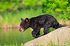 Young Black Bear 4 months walking on a rock USA (Black bear )