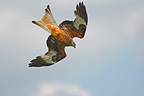 Red Kite in flight (Red Kite)