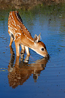Young White-tailed deer drinking in water Minnesota USA  (White-tailed deer)