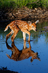 Young White-tailed deer walking in water Minnesota USA  (White-tailed deer)