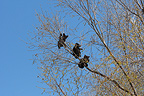 Black Bears 4 months old cubs climbing a tree to be secure (Black bear )