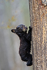 Black Bear 4 months old cub climbing a tree to be secure (Black bear )
