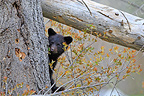 Black Bear 4 months old cub Minnesota USA (Black bear )