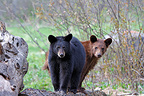 Young Black Bear 1 year and a half old Minnesota USA (Black bear )