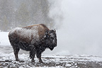 American Bisons under the frost  Yellowstone USA (American Bison)