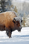 American Bison under the frost  Yellowstone USA (American Bison)
