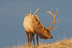 Wapiti male in winter Yellowstone USA (Wapiti  (Elk))