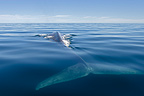 Blue Whale swimming Sea of Cortez Mexico (Blue whale)