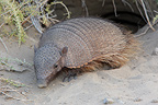 Hairy armadillo on sand Patagonia Argentina (Large hairy armadillo)