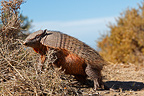 Hairy armadillo eating foliage Patagonia Argentina (Large hairy armadillo)