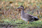 Drake Gadwall standing in the ground GB (Gadwall)