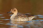 Female Northern Pintail swimming on a lake in winter GB (Northern Pintail)