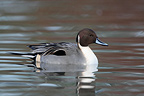 Male Northern Pintail swimming on a lake in winter GB (Northern Pintail)