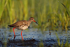 Redshank looking for food in a marsh Poland (Redshank)