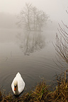 Swan in the fog Ponds Comelles Picardie France  (Mute Swan)