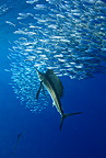 Atlantic Sailfish feeding on Sardine Gulf of Mexico Mexico (Atlantic sailfish)