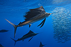 Atlantic Sailfishes feeding on Sardine Gulf of Mexico Mexico (Atlantic sailfish)