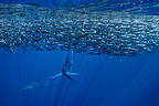 Striped Marlins feeding on Pacific Sardines Baja California (Striped marlin)