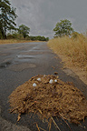 Mushrooms on elephant dung after rain Kruger�National Park