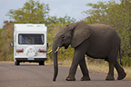 Elephant crossing the road behind a motorhome Kruger (African elephant)