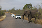 Elephant crossing the road in front of cars Kruger Park� (African elephant)