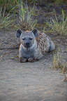Spotted Hyena lying Kruger National Park South Africa  (Spotted Hueyna)