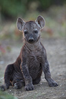 Young Spotted Hyena Kruger National Park South Africa  (Spotted Hueyna)