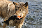 grey wolf eating a salmon in a river Alaska USA (Grey wolf )
