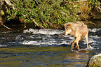 grey wolf fishing for salmon in a river Alaska USA� (Grey wolf )