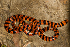 False coral snake on ground French Guiana