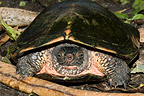 Red-necked Pond Turtle on ground China (Red-necked Pond Turtle)