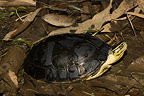 Southeast Asian Box Turtle on ground (Southeast Asian box turtle)