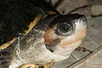 Portrait of Brown Roofed Turtle (Brown roofed turtle)