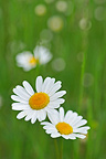 Lawndaisies in bloom