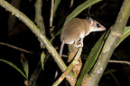 Aquatic Opossum on a branch French Guiana (Aquatic Opossum)