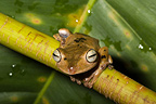 Troschel's Treefrog on a branch French Guiana