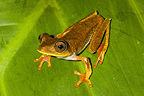 Map Treefrog on a leaf French Guiana
