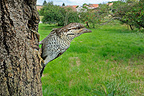 Eurasian Wryneck at the entrance to its nest in a fruit tree (Wryneck)