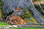 Red Deer Fawn resting in a tree Vosges Mountains  (Red deer)