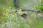 European Bee-eater in its nesting site in the Jura France (European Bee-eater)