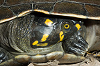 Portrait of Yellow-spotted river turtle  French Guiana (Yellow-spotted River Turtle)