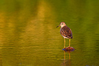 Wood sandpiper standing on a stone in water Greece (Wood Sandpiper)