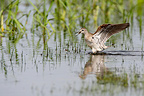 Wood sandpiper flapping wings in water Greece (Wood Sandpiper)