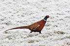 Male Ring-necked Pheasant in a frozen meadow GB (Ring-necked Pheasant)