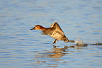 Female Pochard running on water to take off GB (Pochard)